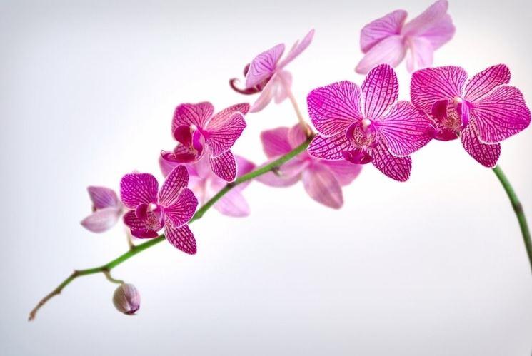 In foto, un esemplare di orchidea