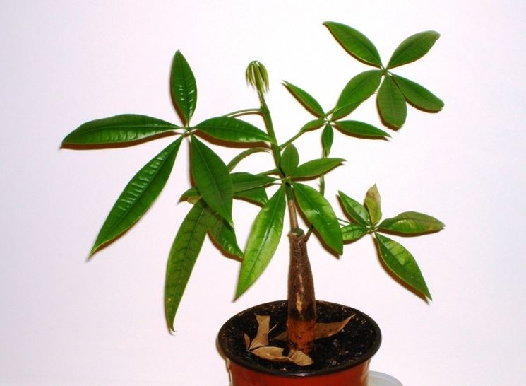Piante da casa piante appartamento piante per la casa - Pachira pianta ...