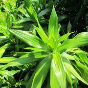 foglie dracaena