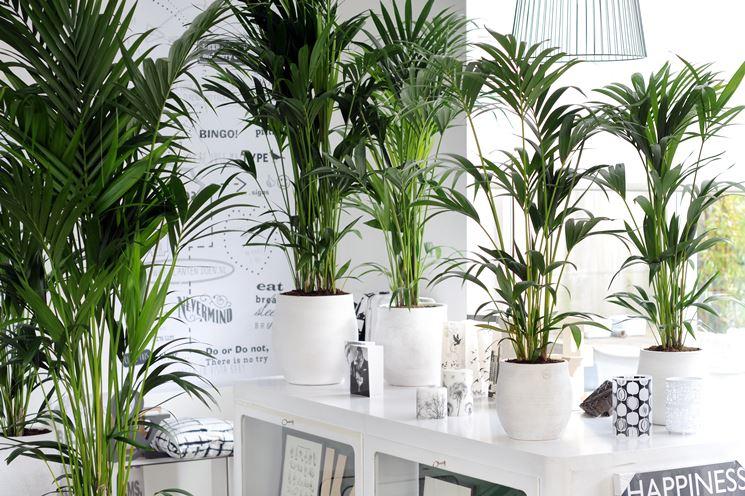 piante di Kentia