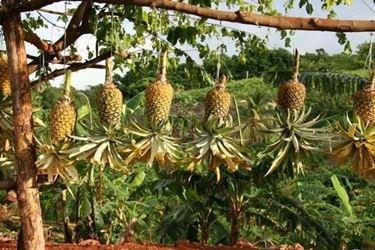 coltivazioni di piante di ananas