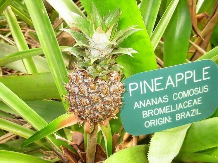 piante di ananas comosus