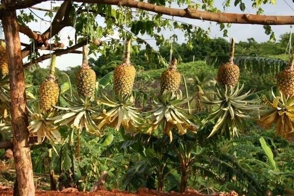 Piante di ananas piante appartamento caratteristiche for Albero di ananas