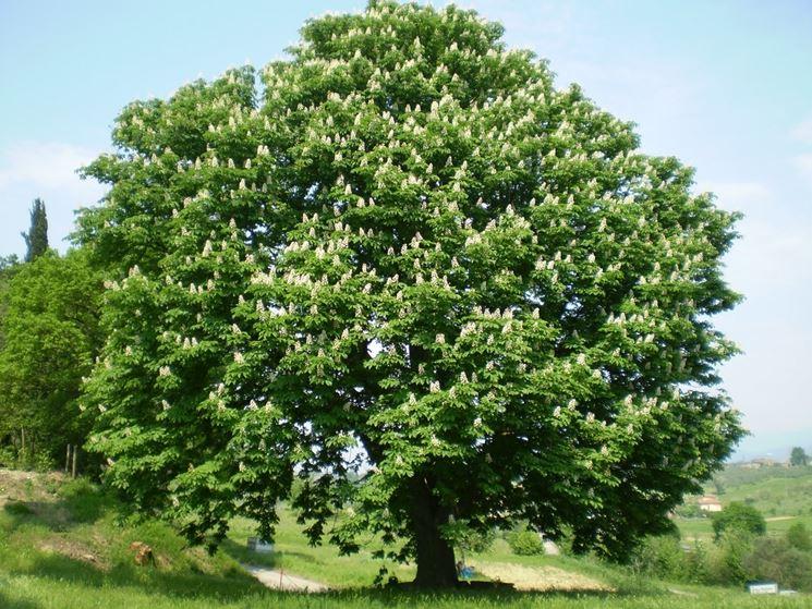 Una pianta di castagno