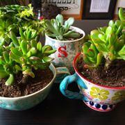 Gruppo di succulente coltivate in appartamento