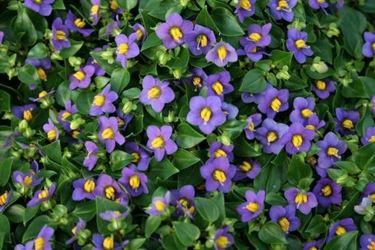 Fiori e foglie di Exacum