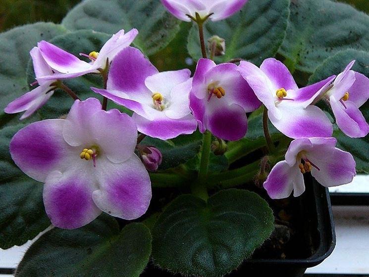 Fiori variegati di Violetta africana