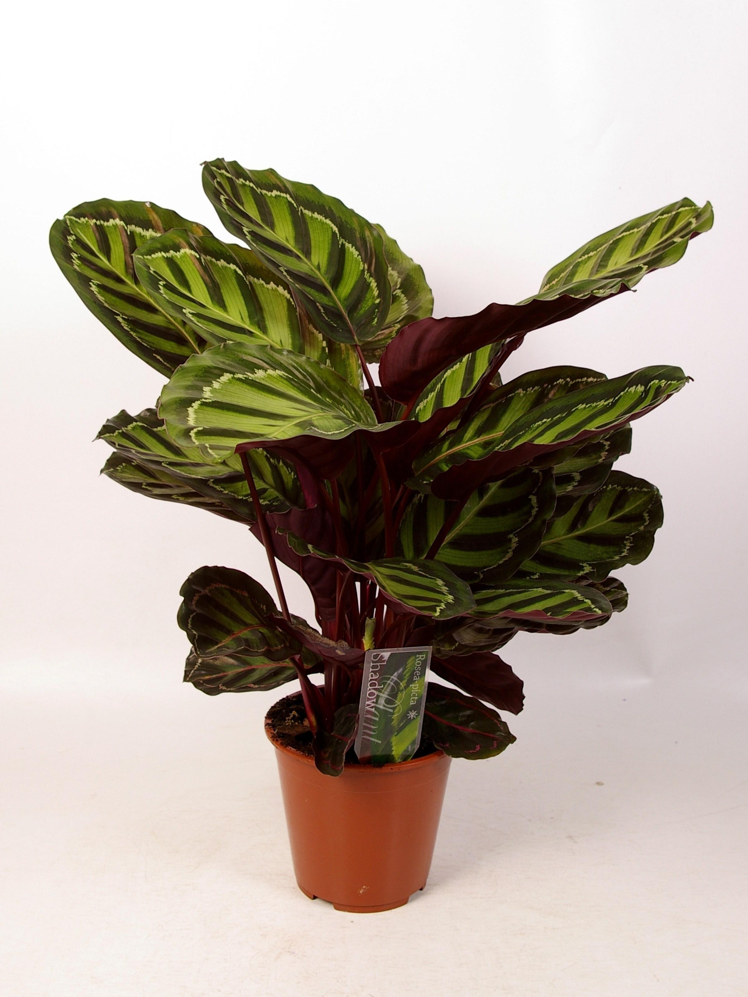 Piante interno piante appartamento piante interno for Maranta pianta
