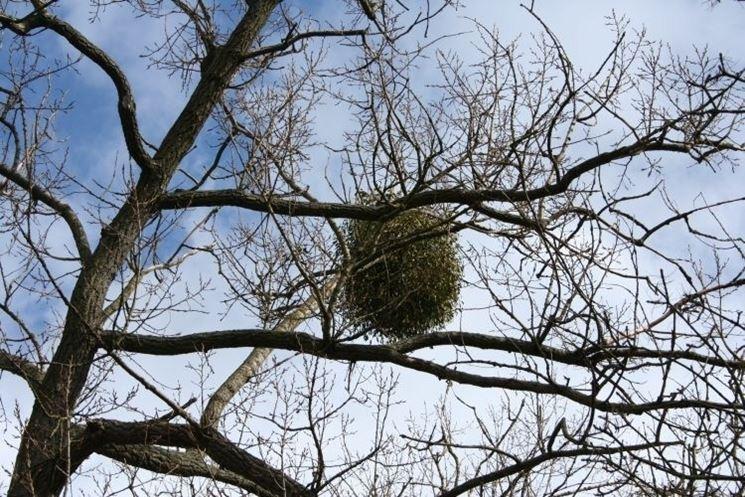 Pianta di vischio attaccata ai rami di un albero