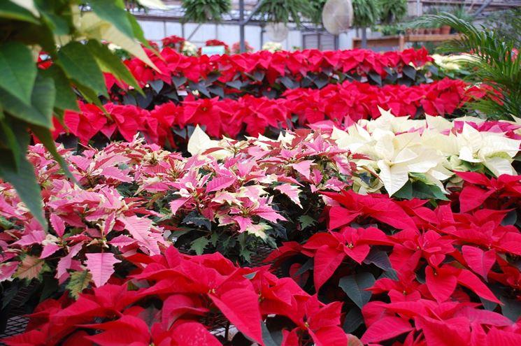Stelle di Natale di diversi colori