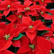 piante natalizie