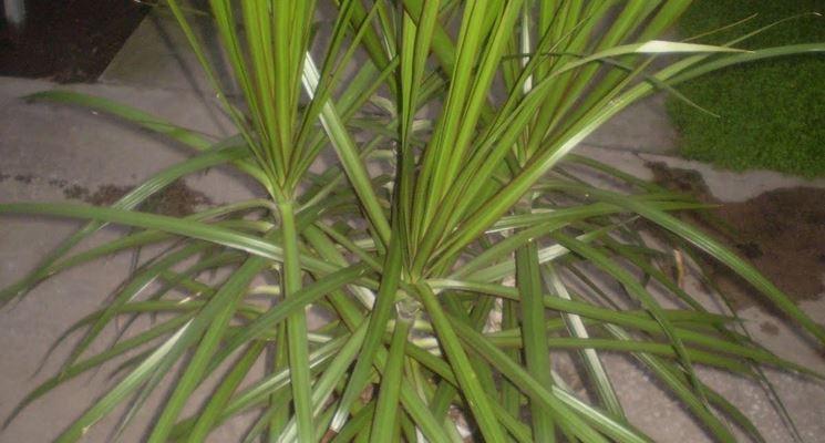Pianta Dracena del Madagascar