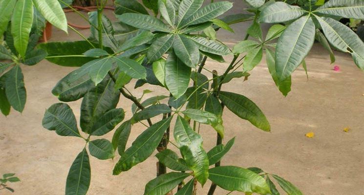 piante da appartamento piante da interno : Piante Verdi Da Appartamento Piante Appartamento Foto Gardenia Pian ...