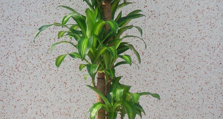 Piante verdi da interno - Piante appartamento - Piante da interno