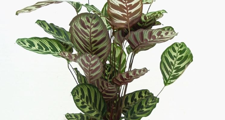 Piante verdi da interno piante appartamento piante da - Piante verdi interno ...