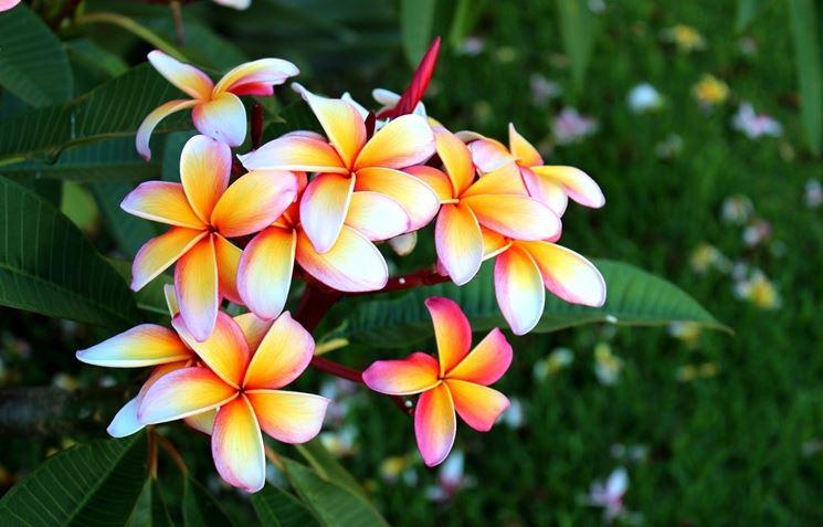 Foglie e fiori di Plumeria rubra