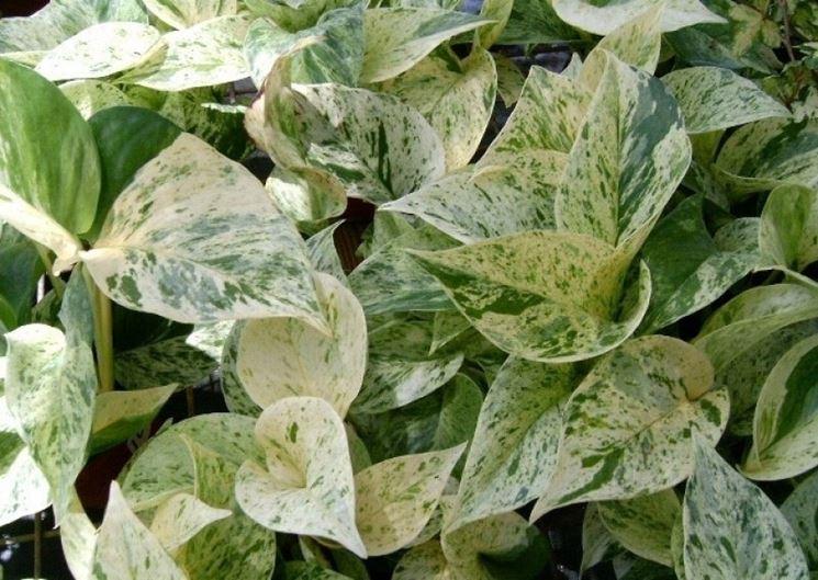 Potus pianta, foglie variegate