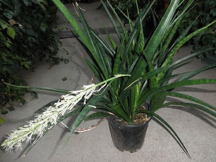 pianta della sanseveria