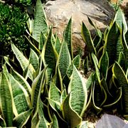 piante sanseveria