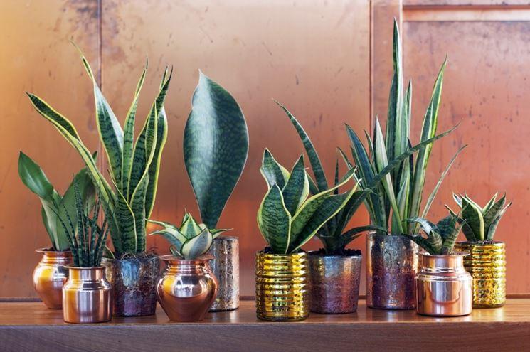Alcune piante sansevieria in vaso
