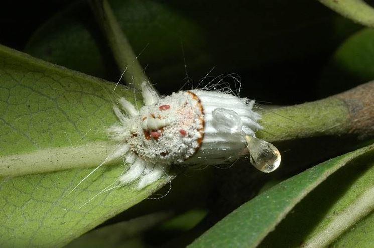 Schefflera piante appartamento caratteristiche della schefflera - Insetti piccolissimi neri nel letto ...