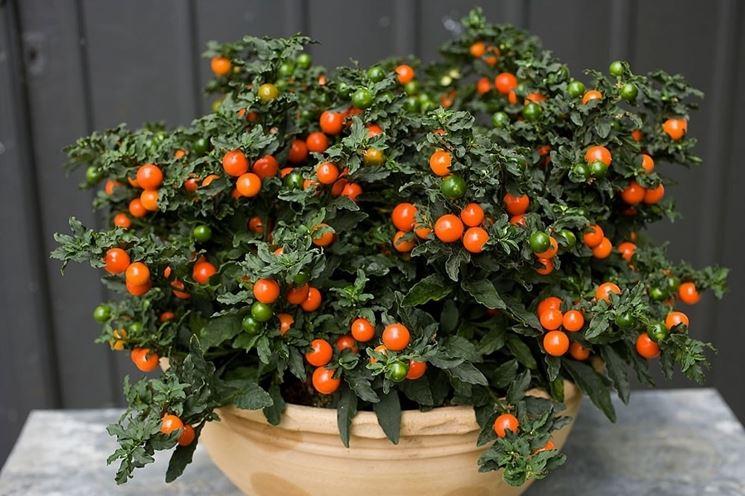 Solanum capsicastrum in vaso
