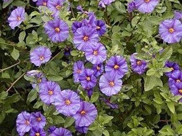 fiori di solanum