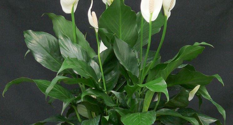 Spathiphyllum pianta