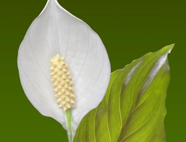 Spathiphyllum rizomi
