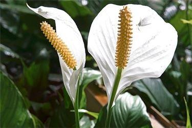 Fiori della pianta di Spatifillo