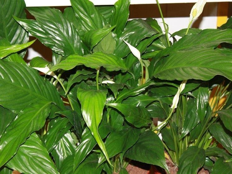 Fogliame delle piante di Spatifillo