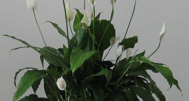 Spathiphyllum Vaso 17 cm