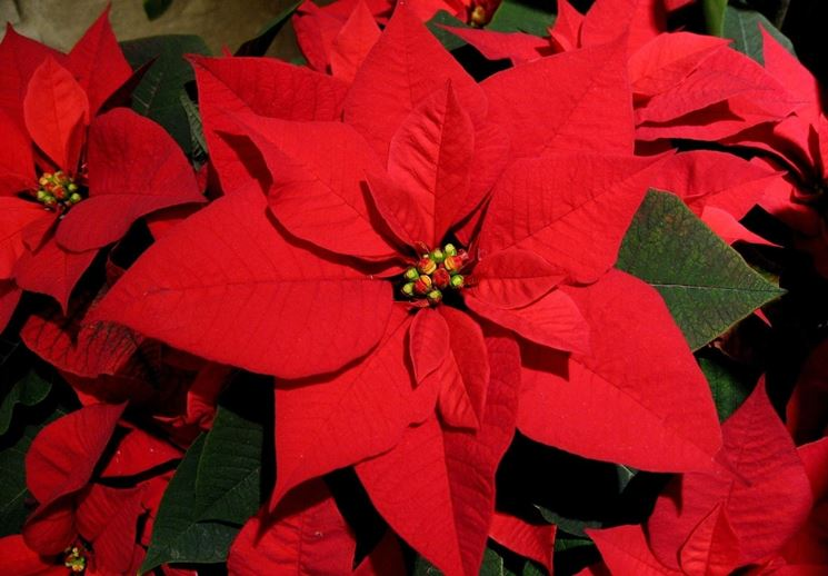 Stella Di Natale Origini.Stella Di Natale Coltivazione Piante Appartamento Coltivare