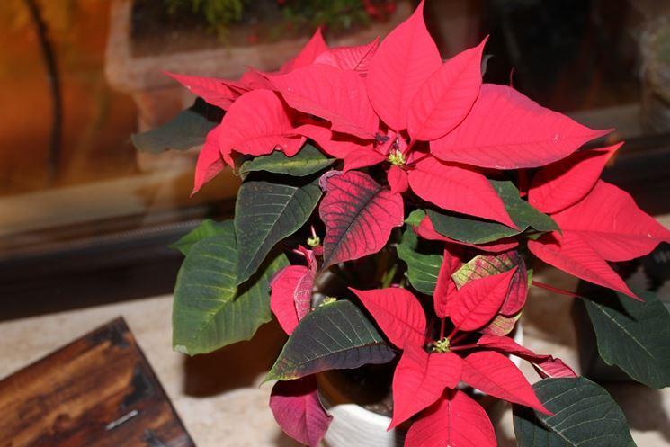 Conservare Stella Di Natale.Stella Di Natale Coltivazione Piante Appartamento Coltivare
