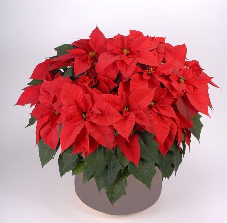 Stella di Natale coltivata in vaso
