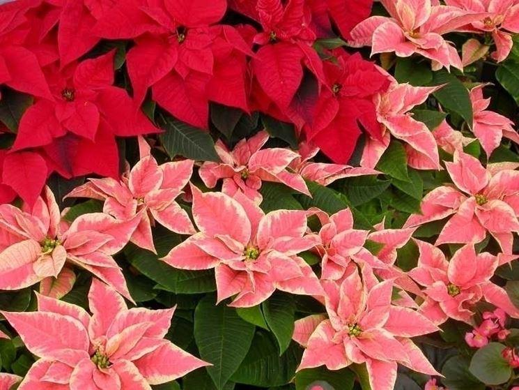 Fioritura di stelle di Natale dalle brattee rosse e rosa