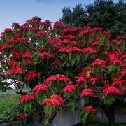Bellissimo arbusto di stella di Natale