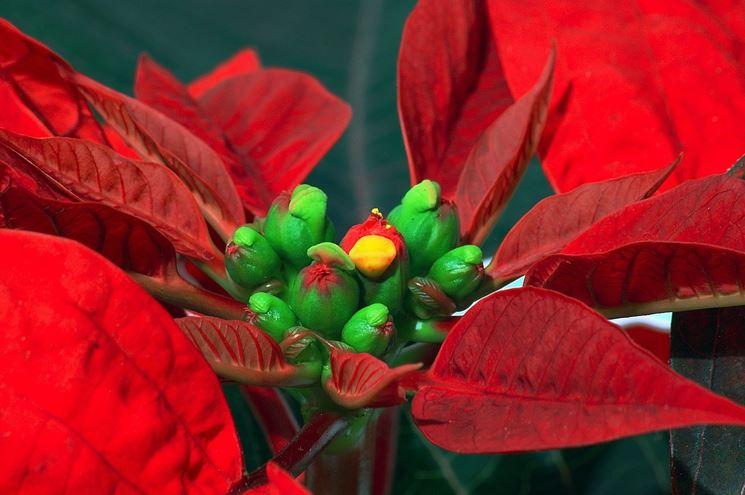 Il ciazio, il fiore vero e proprio della stella di Natale