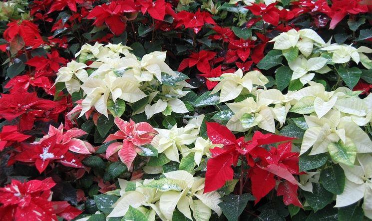 Bellissime varietà di stelle di Natale
