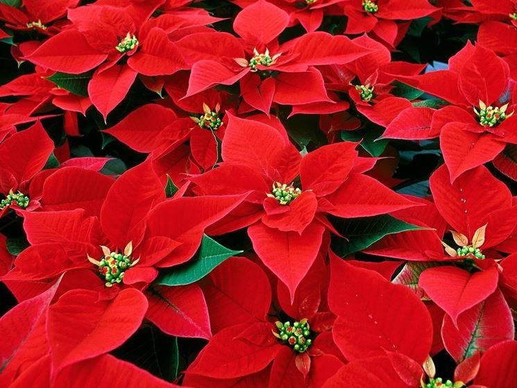 Bellissima fioritura di stelle di Natale