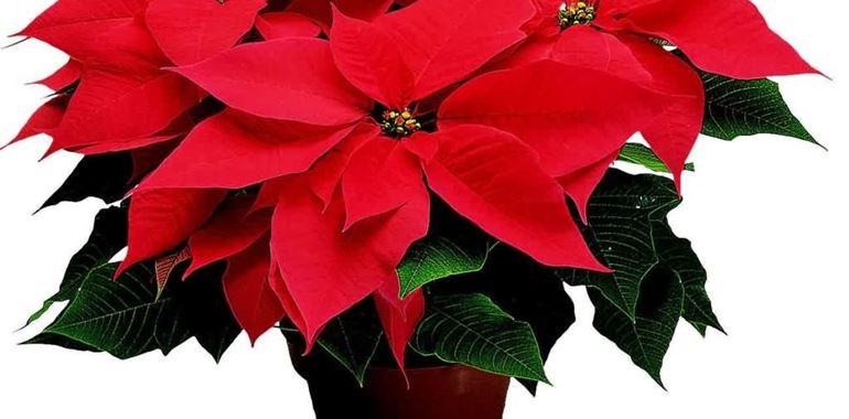 <h6>Stella di Natale</h6>Il Natale � alle porte e non sapete cosa regalare ad amici e familiari? La stella di natale non � mai scontata. Pianta invernale per eccellenza, presenta dei fiori rosso acceso in grado di riscaldare cuore e anima