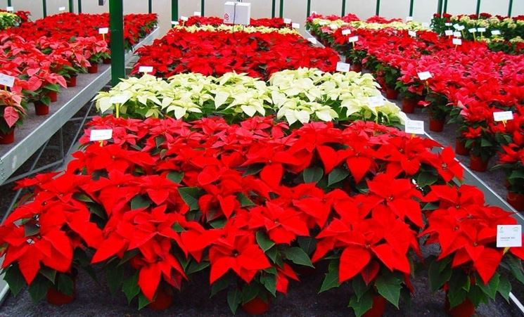 Stelle di Natale in vivaio