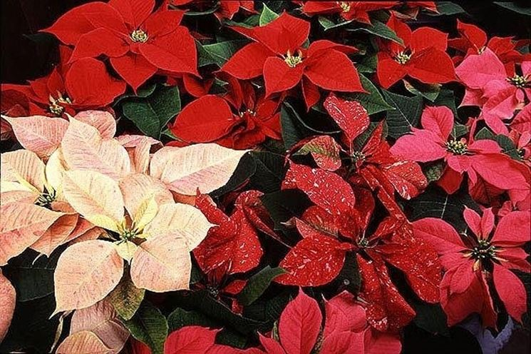 Alcune delle più note varietà di stelle di Natale