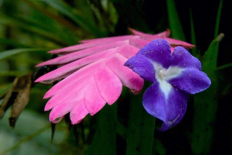 Fiore di tillandsia cyanea