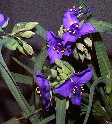 fiori tradescantia