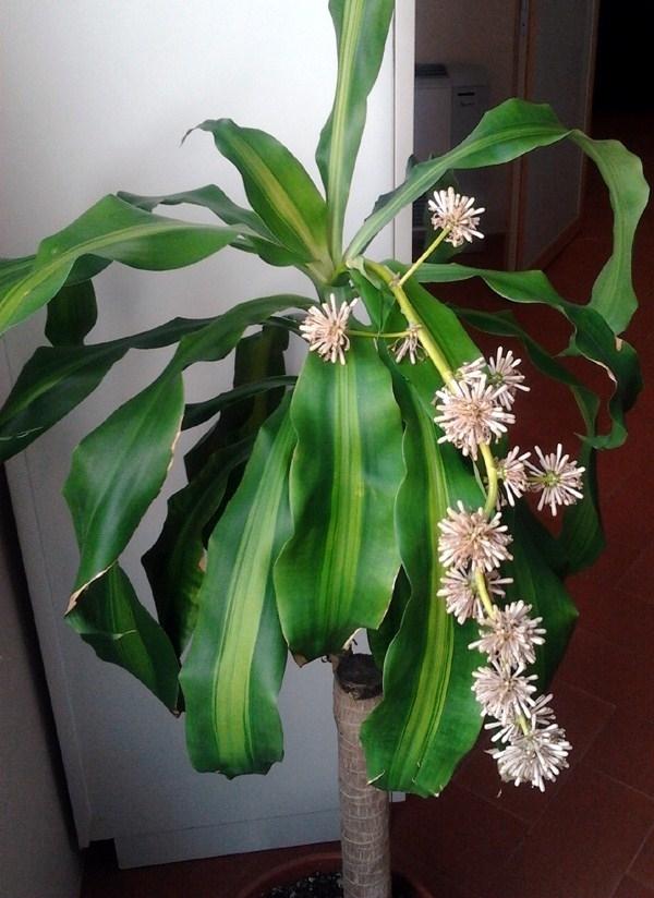 Tronchetto della felicit piante appartamento for Zamioculcas cura