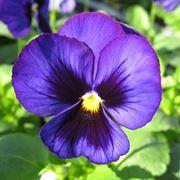 Esemplare di violetta africana