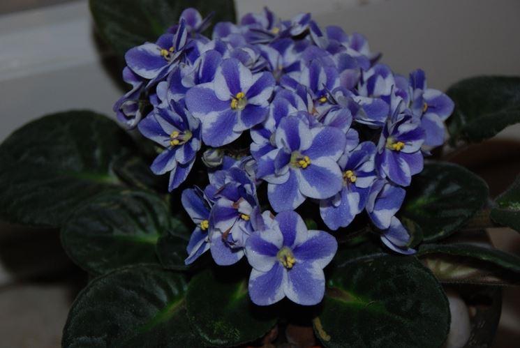 Varietà a fiori screziati