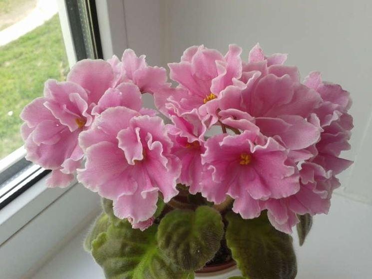 Varietà pink amiss