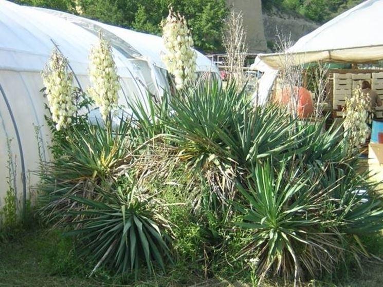 più piante di yucca gloriosa messe vicino